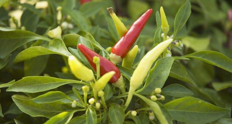 Como preparar um molho picante de pimenta habanero