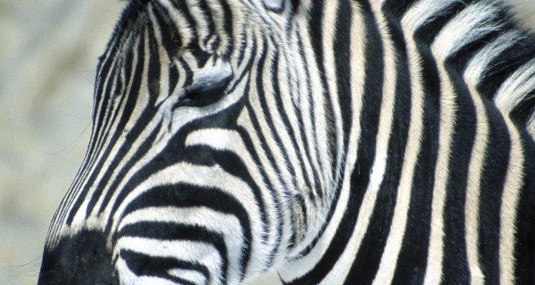 Las cebras están estrechamente relacionadas con los caballos.