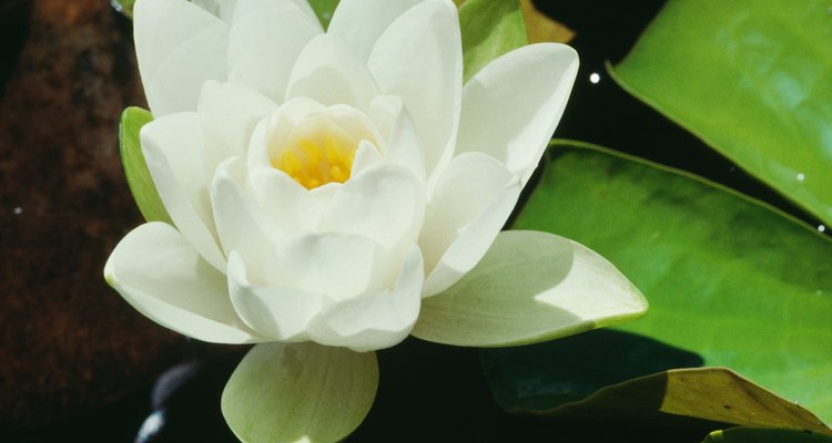 El sampaguita es una flor pequeña, blanca que se encuentra en los pantanos y los bosques de las Filipinas.
