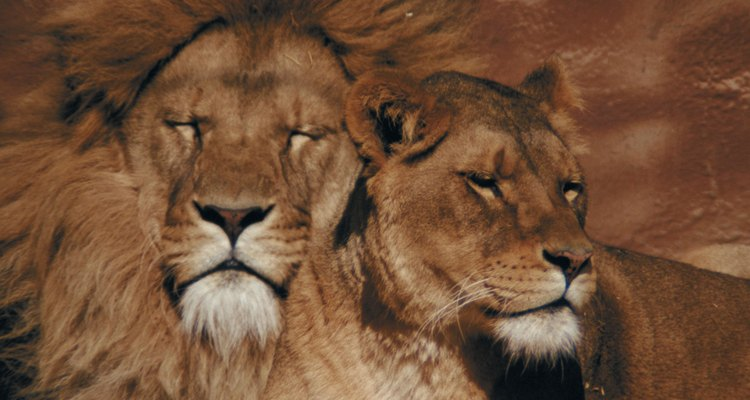 La competición entre los leones por la atención de las hembras es conocida como competición intraespecifica.