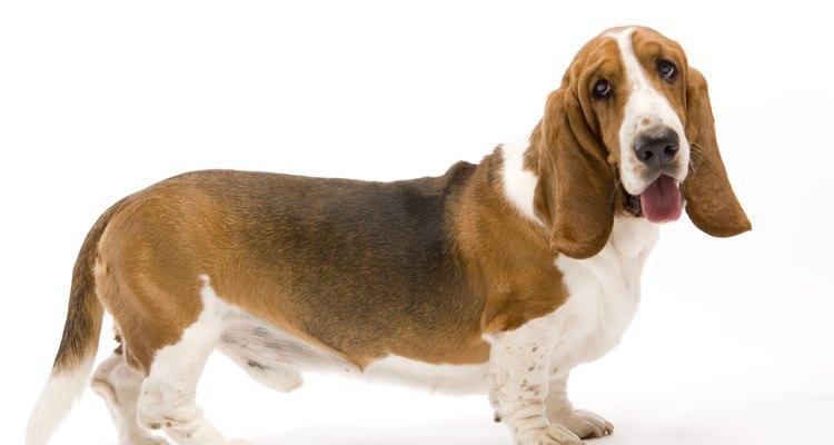 Es común que las orejas de un perro tengan mal olor, especialmente si las tienen caídas.