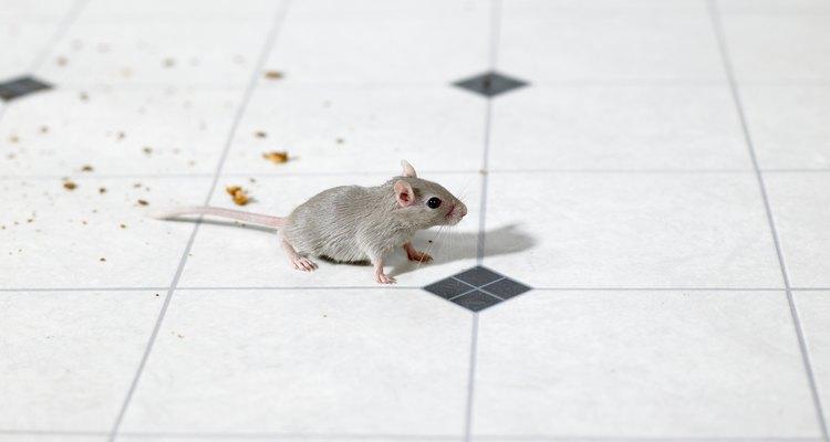 Ratos são repelidos por cheiros fortes e pungentes