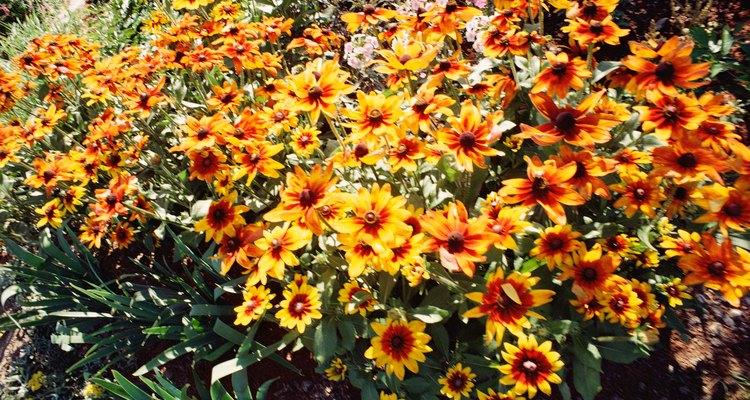 Los crisantemos vienen en un solo color y en variedades bicolor.