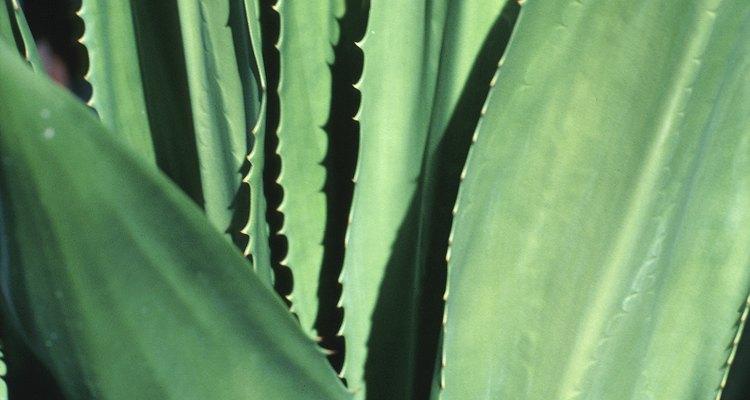 Las aloe veras son plantas suculentas.