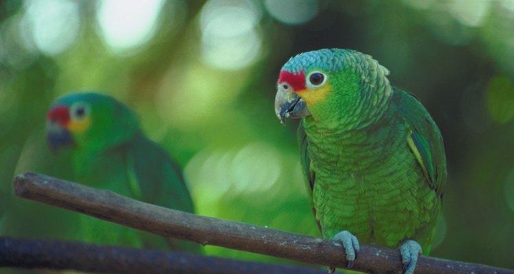 Papagaio da amazônia numa floresta tropical