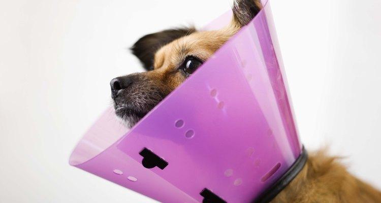 Cones para cães são frequentemente recomendados para evitar que o animal lamba ou morda a pata