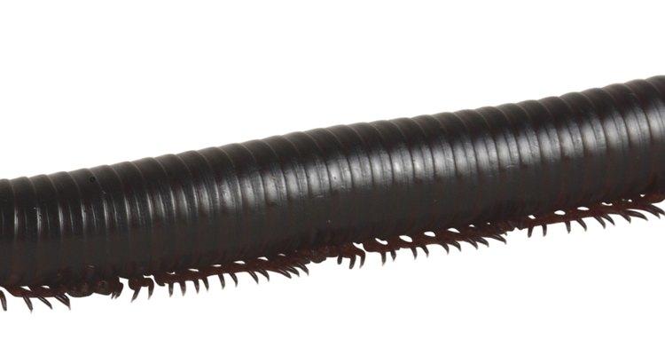 Los ciempies tienen 15 pares de patas y miden más de 1 pulgada (2,5 cm).