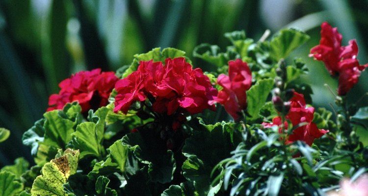 Geraniums do well when planted outdoors under the proper conditions.