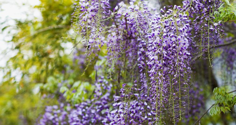 The wisteria plant can grow heavy.