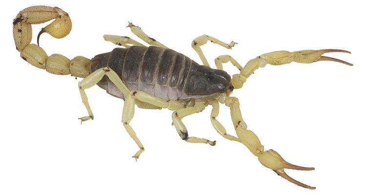 O escorpião amarelo encontrado no Brasil é um perigo para crianças pequenas