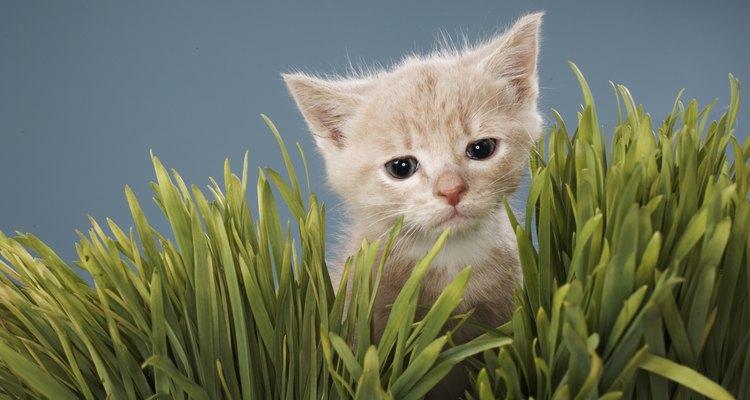 Plante grama de aveia para seu gatinho e evite que ele coma suas plantas