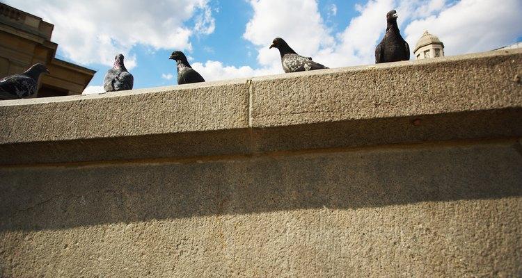 Las palomas suelen posarse y culminar sobre y dentro de edificios grandes.