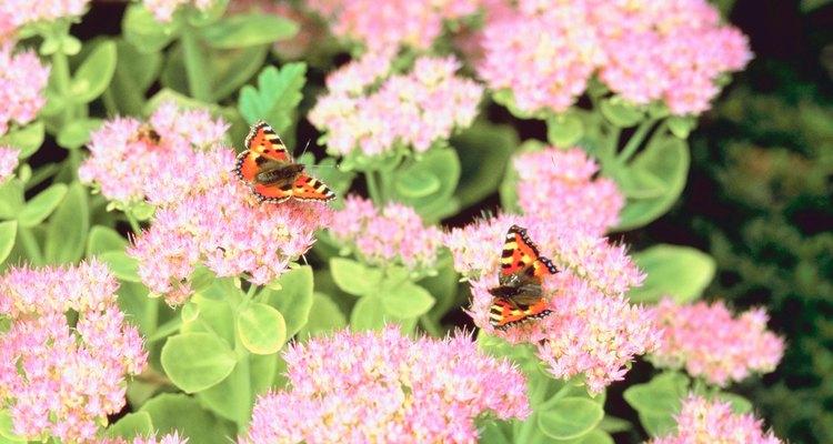 El Sedum 'Autumn Joy' atrae a colibríes y abejas.
