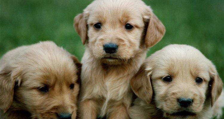 Normalmente, filhotes respiram mais rápido que cães adultos
