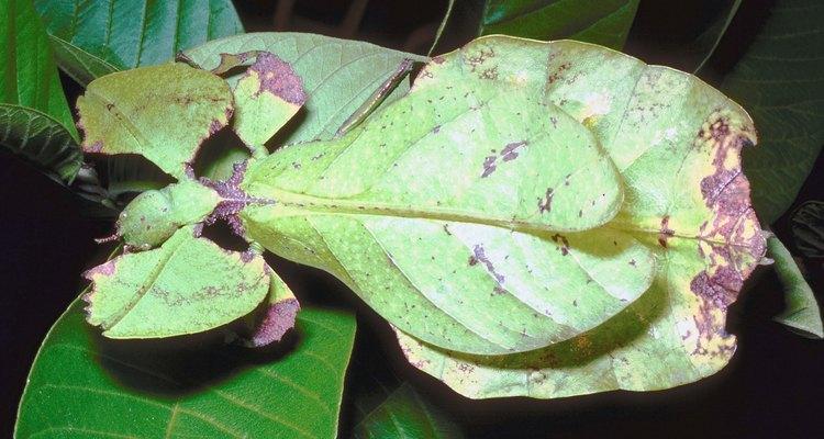 Los insectos hoja tienen camuflaje natural como protección contra los depredadores.