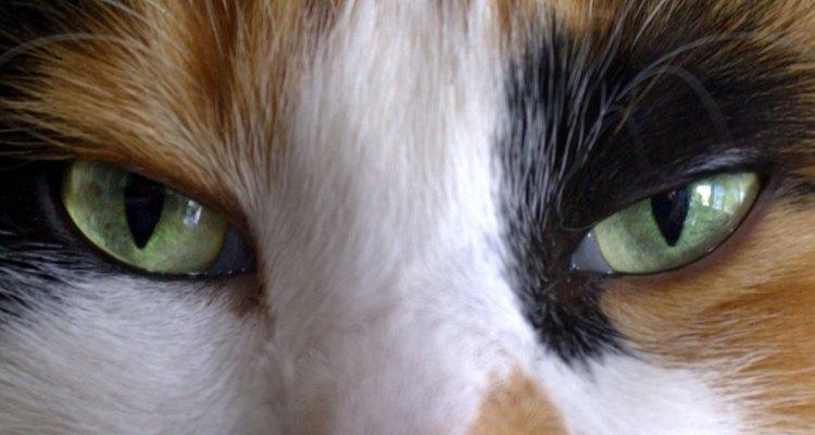 O verde não é a única mas é um dos muitos tons em relação aos olhos de gatos