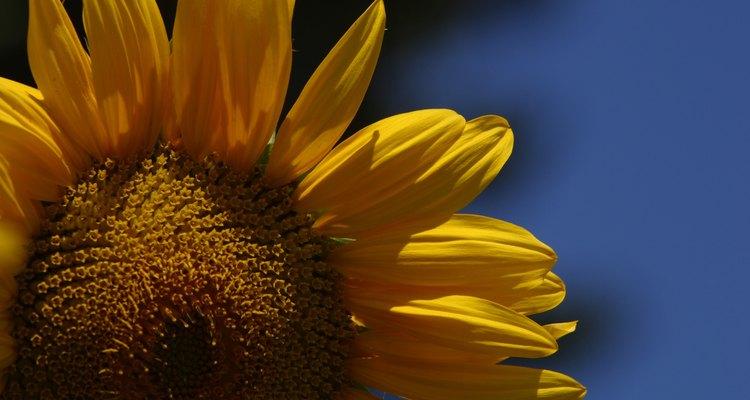 Las semillas con alto contenido en grasas -como las de girasol- a menudo caducan antes que otras que son más secas.