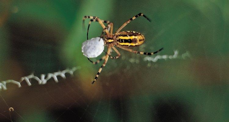 As aranhas da espécie araneidae podem ser de várias formas e contêm vários padrões diferentes de listras amarelas