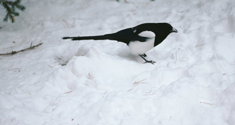 Magpies can survive in cold climates.