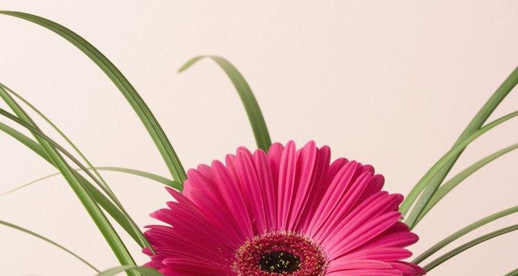 Las gerberas son atractivas y coloridas cuando están sanas.