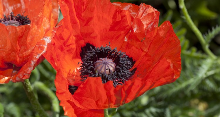 Poppy flowers have very basic anatomy.