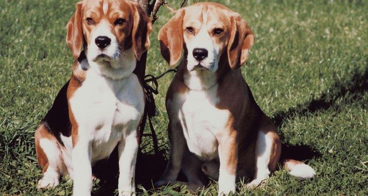 Los beagle, utilizado por generaciones como cazadores en jauría, disfrutan de la compañía.