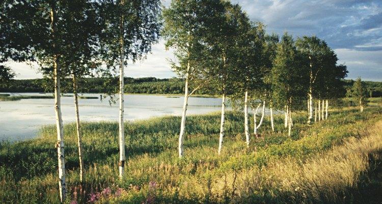 Bétula ou vidoeiro de rio