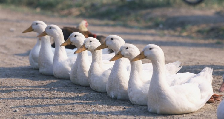 Puedes comenzar tu rebaño de patos pekineses incubando huevos con una incubadora comercial.