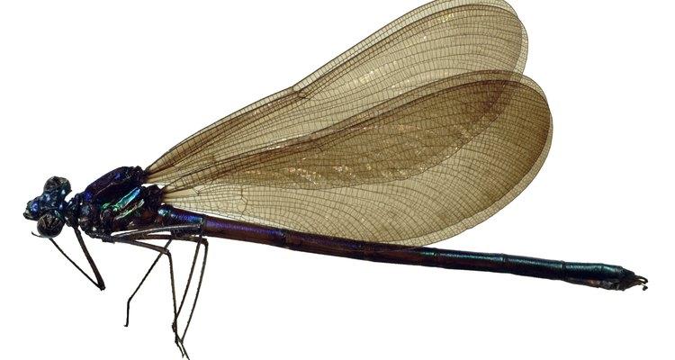Los caballitos del diablo mantienen sus alas a lo largo de su espalda cuando están en reposo.