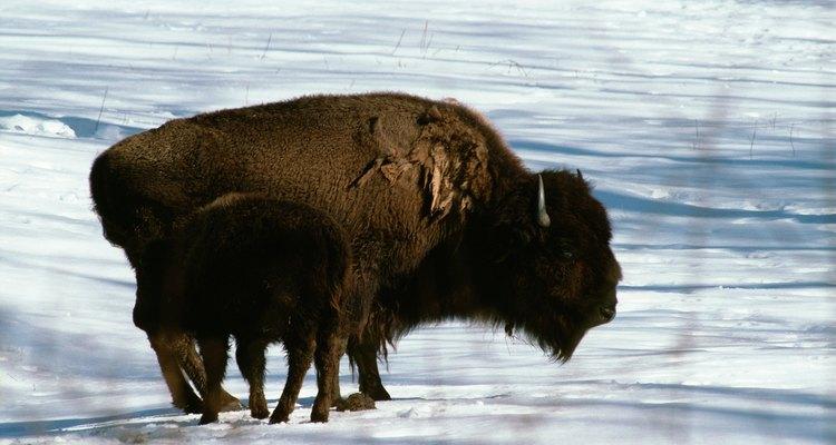 Los bisontes americanos eran uno de los recursos más importantes de los indios de las planicies.