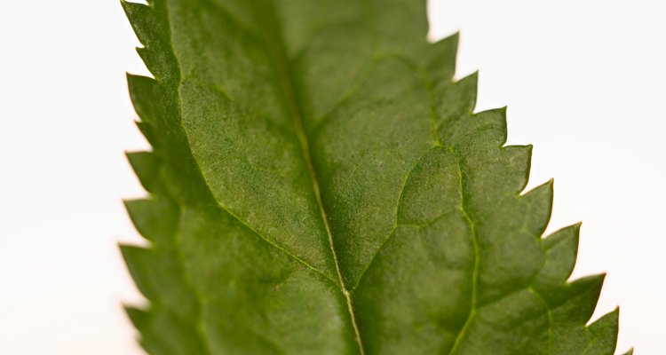 Save your skin by avoiding the nettle's jagged leaves.