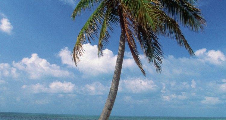 Las palmeras sagú pueden crecer de 30 a 108 pies (9,14 a 32,92 m) de altura.
