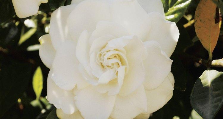 Las gardenias producen floraciones fragantes a finales del invierno.
