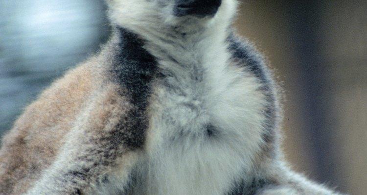 Los lémures son criaturas que parecen perezosos y que se encuentran en las selvas tropicales.