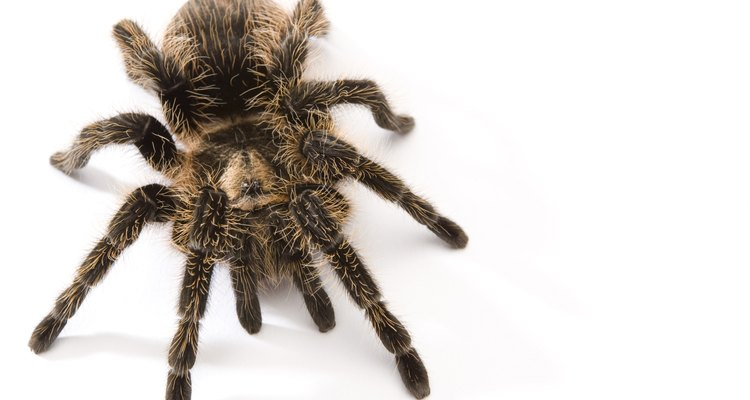 Tarantulas eat crickets, worms and grasshoppers.