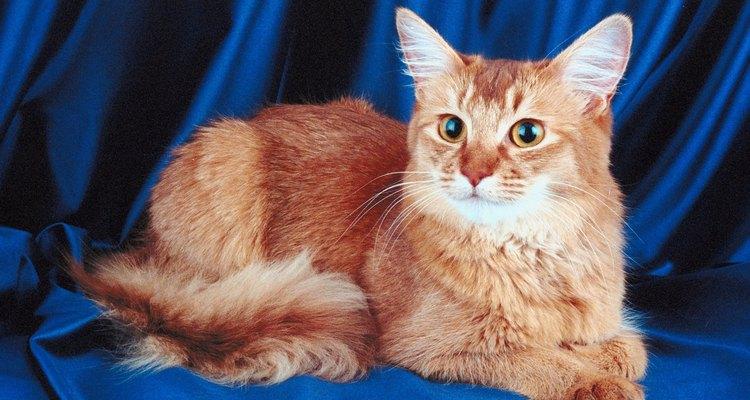 El gato Somalí es idea para familias con niños.