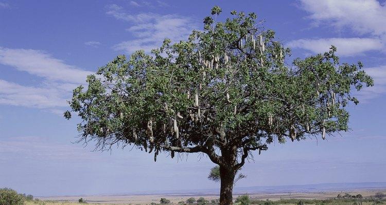 Los árboles de acacia generalmente son originarios de los entornos desérticos.