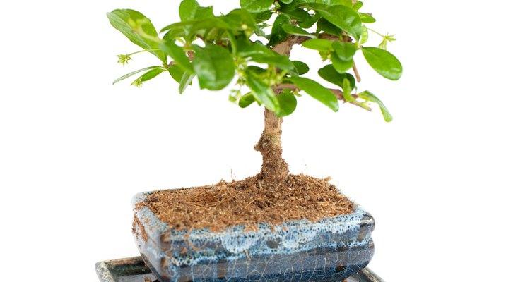 As árvores de ginseng são frequentemente cultivadas como bonsai
