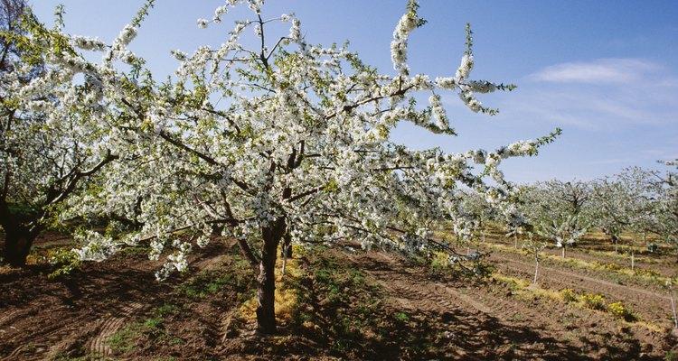 Árvores frutíferas não florescem em solo molhado