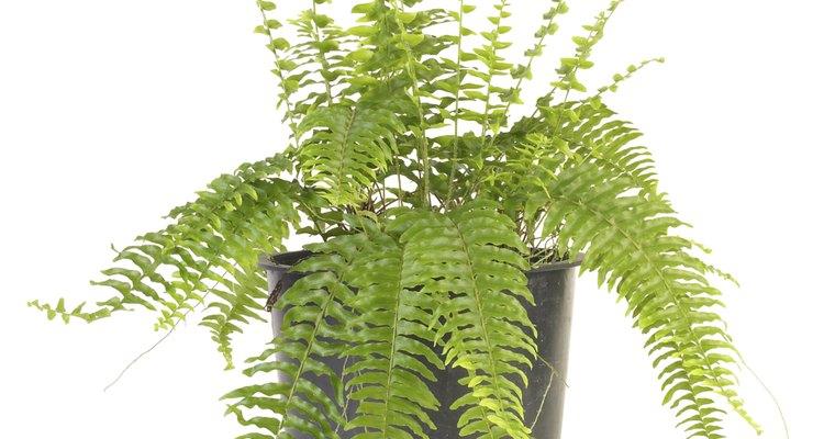 Cuidado para las hojas amarillas de un helecho doméstico.
