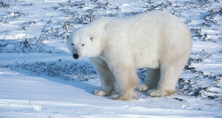 Los osos polares son de los animales más afectados.