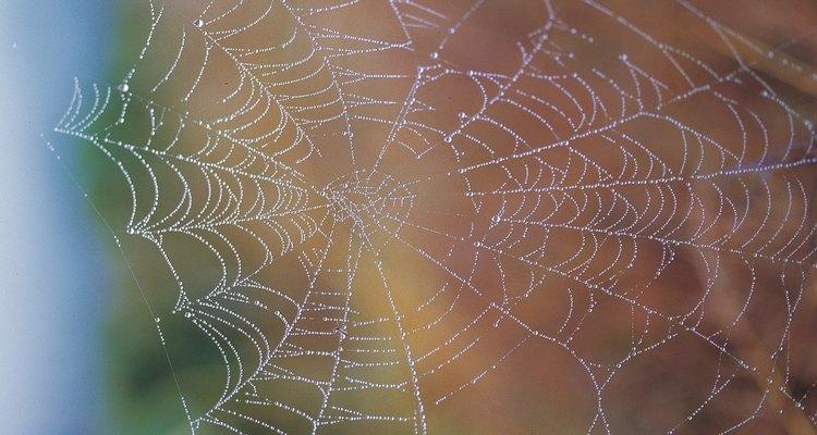 Aranhas-saltadoras são reconhecidas por suas pernas curtas e corpos peludos