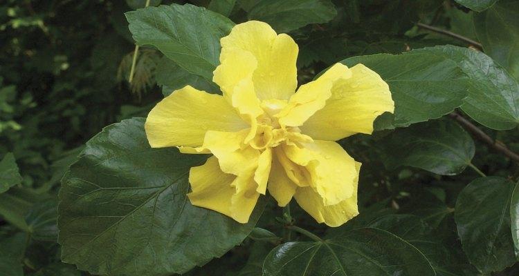 As folhas do hibisco permanecem verdes quando as condições de crescimento não são modificadas