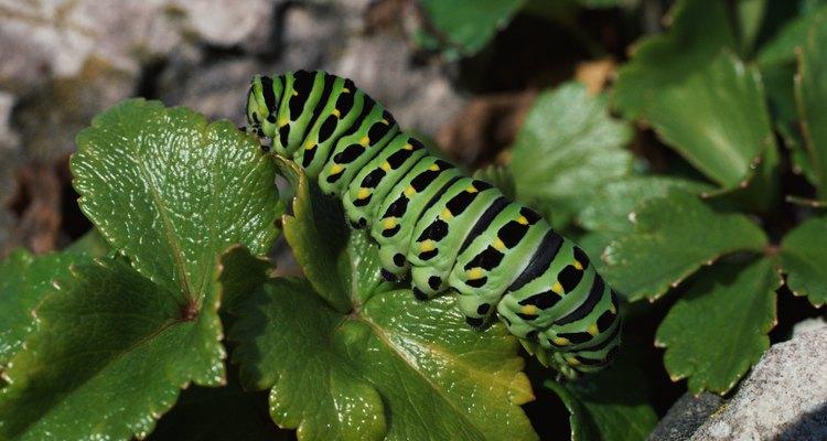 El hábitat de una oruga es determinada por sus necesidades alimenticias.