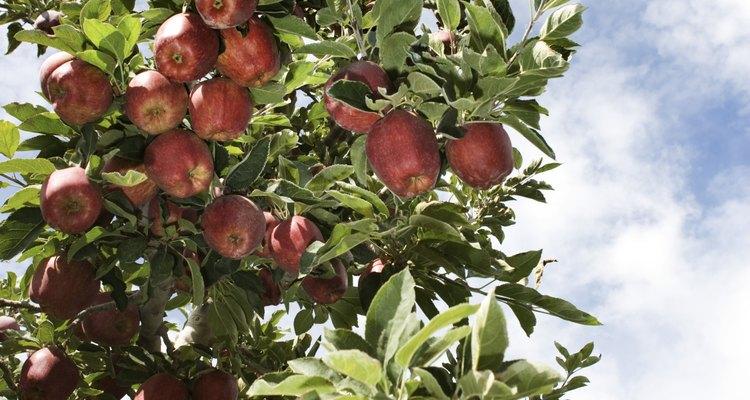 Las manzanas no requieren suelo fértil.