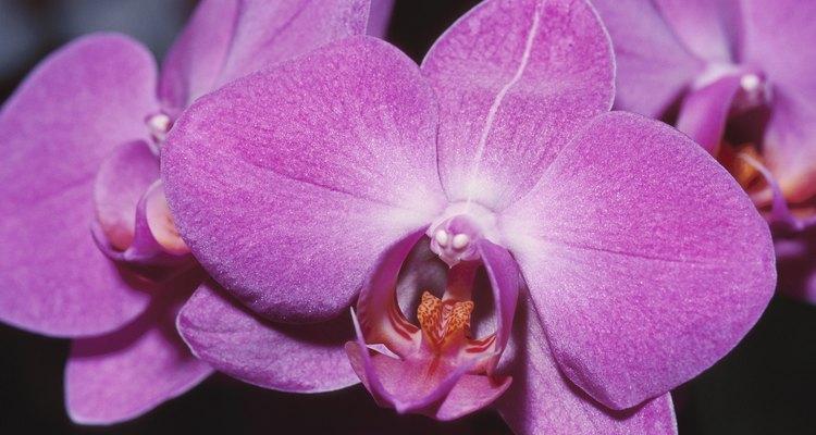 Trasplanta las orquídeas cada uno o dos años para mantenerlas saludables.