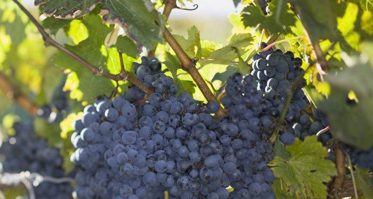 Uvas precisam de um clima quente para poderem se desenvolver e produzirem frutos