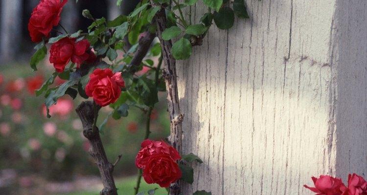 Los conejos harán una comida con tus rosas, especialmente durante el invierno.