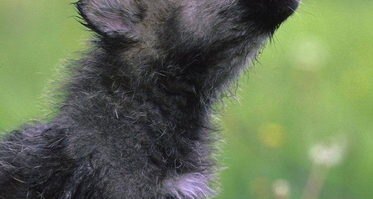 Cachorros e lobos possuem constituição genética similar