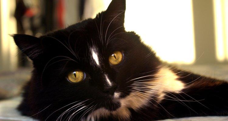Los gatos bicolor son conocidos por su distintivo color en blanco y negro.